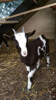 Geitje Hollandse bonte melkgeit  geboren op 27-03-2016