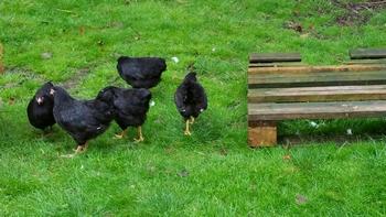Wyandotte kippen zwart