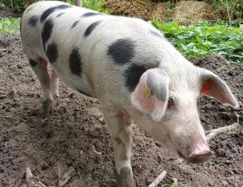Lease varken een1/2 Echte Bonte Bentheimer varken