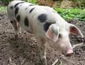 Lease varken een Echte Bonte Bentheimer varken