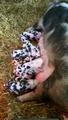 Nieuwboren biggetjes 9 stuks